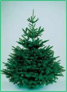 Picture of Premium Nordmann Fir - Real Christmas Tree (non drop)