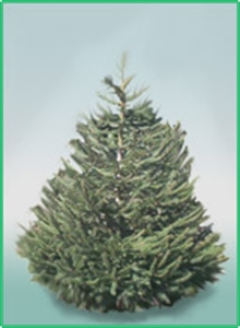 Picture of Premuim Norway Spruce Christmas Tree