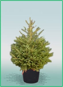 Picture of Pot Grown Norway Spruce Christmas Tree (80cm)