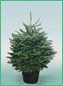 Picture of Pot Grown Fraser Fir Christmas Tree (80cm)